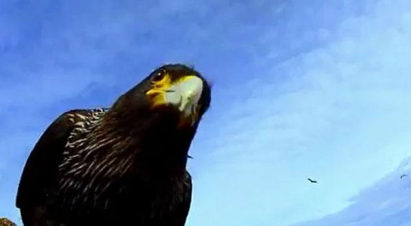 ¡Asombroso! Documental de pingüinos filmado por un águila