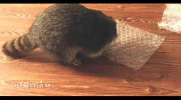 Mira el divertido video del mapache estresado reventando burbujas de plástico