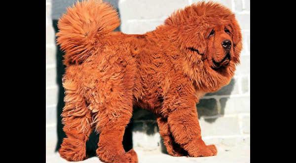 ¿Sabes cuáles son las 10 razas de perro más caras del mundo? - VIDEO
