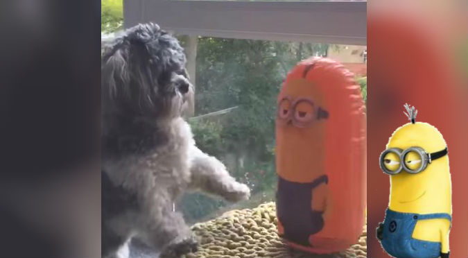 ¡Pelea intensa! Este perro 'desafió' a un minion y así terminó todo – VIDEO