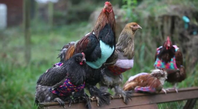 YouTube: Chica les teje adorables chompas a sus gallinas