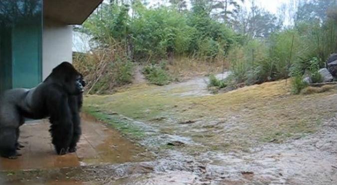 YouTube: Gorila hizo algo muy divertido cuando empezó a llover
