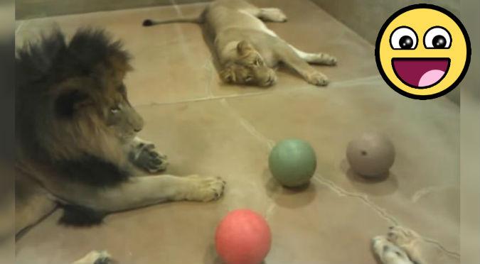 YouTube: Leones nos enseñan que la ociosidad no es impedimento para jugar
