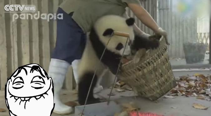 ¡Terribles! Así se ponen los pandas cuando les limpian sus 'casas' – VIDEO