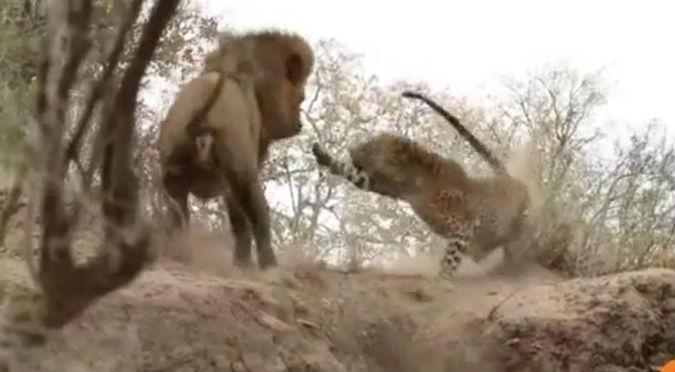 YouTube: Esta fue la espeluznante pelea entre un león y un leopardo