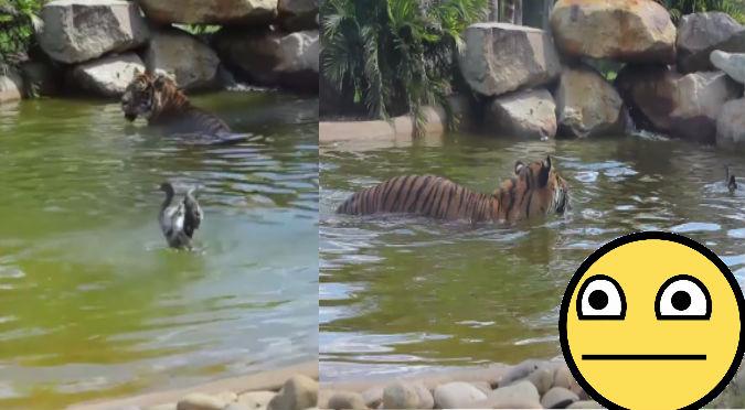Facebook: Pato se enfrentó a un tigre y esto hizo para ganarle - VIDEO