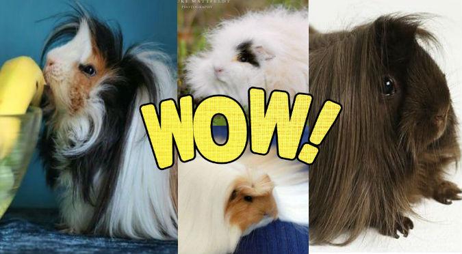 ¿Cuyes con las mejores cabelleras? ¡Te quedarás atónito! - VIDEO
