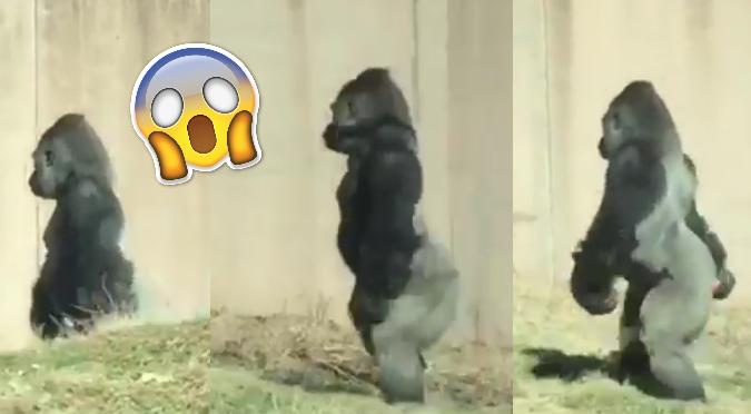 Facebook: Gorila camina como humano para 'no ensuciarse las manos'