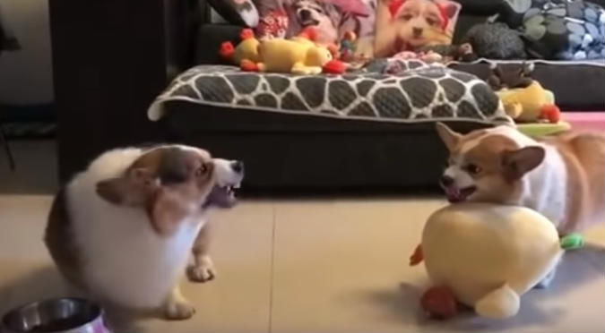 Intenso enfrentamiento entre corgis se viraliza (VIDEO)