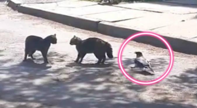 Cuervo se mete en pelea de gatos y mira lo que sucede (VIDEO)