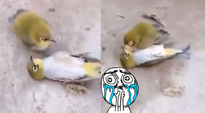 Ave no resistió ver a su pareja muerta y termina con triste final (VIDEO)