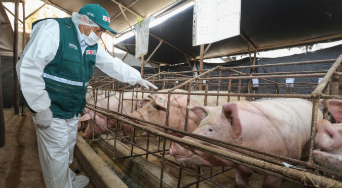 SENASA: Perú busca declarar zonas libres de peste porcina clásica